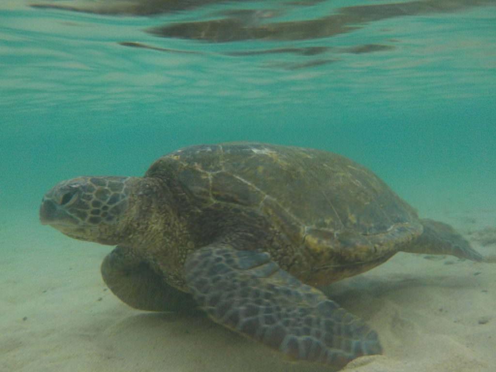 Schildkröte Maui